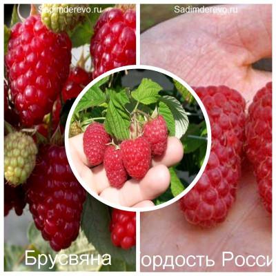 Малина - комплект из 3-х сортов: Малина Брусвяна > Малина Вилламетте > Малина Гордость России