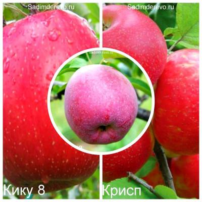 Яблоня - комплект из 3-х сортов: Яблоня Флорина > Яблоня Фуджи Кику 8 > Яблоня Хоней Крисп
