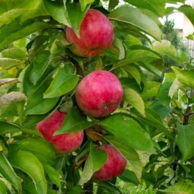 Колоновидная яблоня Обелиск