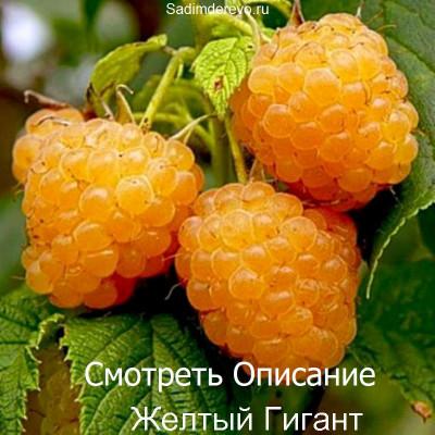 Малина Желтый Гигант