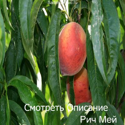 Персик Рич Мей