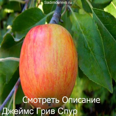 Яблоня Джеймс Грив Спур