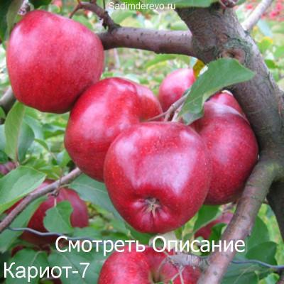 Яблоня Кариот 7